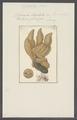 Spongia digitata - - Print - Iconographia Zoologica - Special Collections University of Amsterdam - UBAINV0274 112 05 0008.tif