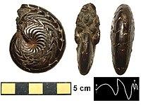 Sporadoceras Devonian
