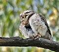 Spotted Owlet (Athene brama)- Preening at Bharatpur I IMG 5280.jpg