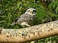 Spotted Owlet (Athene brama) from Coimbatore JEG2116 b.jpg