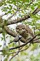 Spotted Owlet कोचलगाँडे लाटोकोसेरो 1.jpg