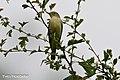 Spotvogel-2 (28615295706).jpg