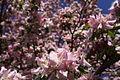 Spring-blossoms - West Virginia - ForestWander.jpg