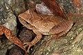 Spring Peeper - Pseudacris crucifer, Mason Neck, Virginia (37975466994).jpg