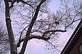 Squirrel Drey 2.jpg