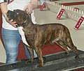 Staffi-redbrindle2.jpg