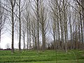 Stand of Trees at Gulliver's Farm, East Orchard - geograph.org.uk - 371310.jpg