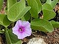Starr-010209-0288-Ipomoea pes caprae subsp brasiliensis-flower and leaves-Kanaha Beach-Maui (24504983656).jpg