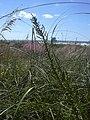 Starr-031108-0216-Dysphania ambrosioides-habit-Siesta Key Beach-Florida (24379088080).jpg