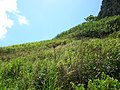 Starr-050419-6507-Digitaria insularis-habit-Mokolii-Oahu (24119338033).jpg