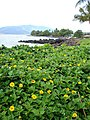 Starr-061017-1180-Sphagneticola trilobata-flowering habit-Cove Park Kihei-Maui (24239606154).jpg