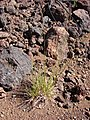 Starr-090504-7172-Festuca rubra-habit-Science City-Maui (24327200533).jpg