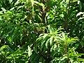 Starr-090608-9005-Manilkara zapota-leaves and fruit-Waikapu-Maui (24869342751).jpg