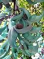 Starr-120301-3219-Strongylodon macrobotrys-flowers-Enchanting Floral Gardens of Kula-Maui (25136916225).jpg