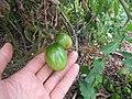 Starr-120415-4665-Solanum lycopersicum-fruit Grape variety-Hawea Pl Olinda-Maui (24508776614).jpg