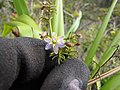 Starr-120425-4845-Dianella sandwicensis-form multipedicellata-Waikapu Valley-Maui (24509084324).jpg