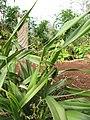 Starr-130319-3165-Dianella sandwicensis-plantings-Kilauea Pt NWR-Kauai (25115543171).jpg