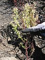 Starr-140630-4679-Senecio vulgaris-seeding habit-Sliding Sands HNP-Maui (25244125985).jpg