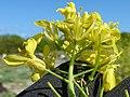 Starr-150328-0647-Brassica juncea-flowers-Northwest Eastern Island-Midway Atoll (24973321300).jpg