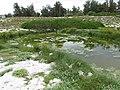 Starr-170629-0084-Cyperus laevigatus-view seep and Laysan Ducks and Albatross-Radar Hill Seep Sand Island-Midway Atoll (36320153291).jpg