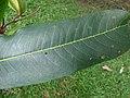 Starr-180406-0756-Terminalia arjuna-leaves-DOFAW Arboretum Hilo-Hawaii (41326516702).jpg