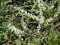Starr 011025-0011 Anredera cordifolia.jpg