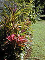 Starr 021212-0005 Cordyline fruticosa.jpg