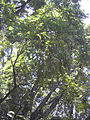 Starr 030807-0034 Toona ciliata.jpg