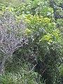 Starr 040522-0085 Senna sp..jpg