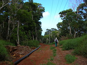 English: Acacia koa (habit). Location: Maui, M...