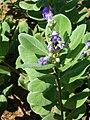 Starr 051104-5156 Vitex rotundifolia.jpg