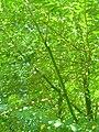 Starr 060921-9056 Moringa oleifera.jpg
