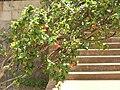 Starr 060922-9176 Hibiscus kokio subsp. kokio.jpg