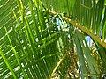 Starr 061206-1982 Chrysalidocarpus lutescens.jpg