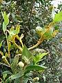 Starr 080326-3703 Myrtus communis.jpg