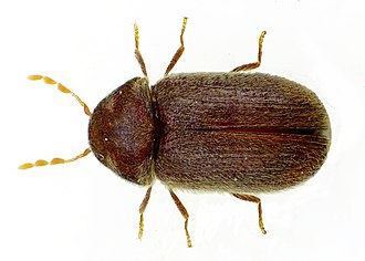 Drugstore beetle - Image: Stegobium paniceum bl