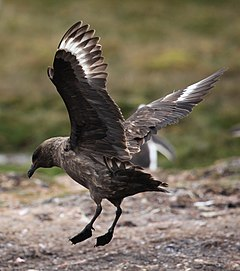 Stercorarius antarcticus -Godthul, South Georgia, British Overseas Territories, UK -landing-8.jpg