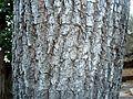 Sterculia murex, bas, Voortrekkerbad.jpg