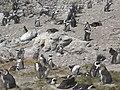 Stony Point Penguin Colony - panoramio (20).jpg