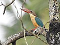 Stork billed kingfisher-kannur-kattampally - 10.jpg