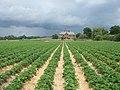 Strawberry Season at Garson's Farm - geograph.org.uk - 469040.jpg