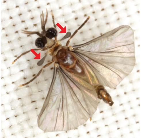 Bộ sưu tập côn trùng 2 - Page 26 490px-Strepsiptera