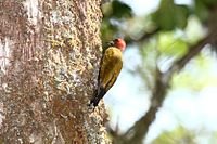 Stripe-cheeked Woodpecker (Piculus callopterus) 2.jpg