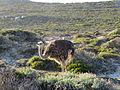 Struthio camelus (17284866404).jpg