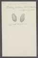 Stylonychia pustulata - - Print - Iconographia Zoologica - Special Collections University of Amsterdam - UBAINV0274 113 18 0009.tif