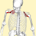 Subscapularis muscle top2.png