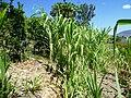 Sugar cane Ethiopia.jpg
