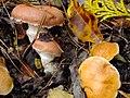 Suillus bovinus & Gomphidius roseus (アミタケとオウギタケ)篠山市盃ヶ岳 DSCF9458.JPG