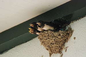 Swallows in nest 4.jpg