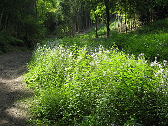 Hesperis matronalis - Naturalized Sweet Rocket, Whitelands Wood, Butser Hill, England.